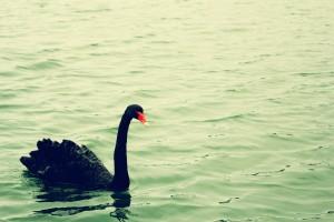 black-swan-1197675_1920